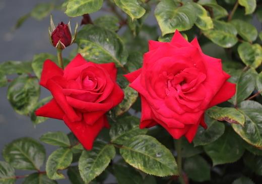 グラッド タイディングスの花形は剣弁高芯咲きです