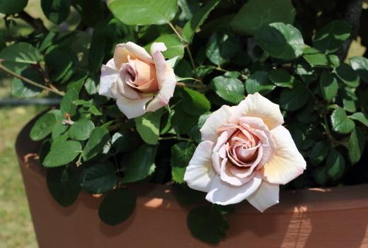 花径は約10cmの大輪花