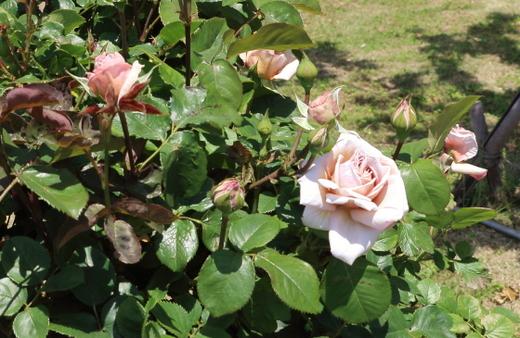 淡い茶色からシルバーグレー色に変化する花弁