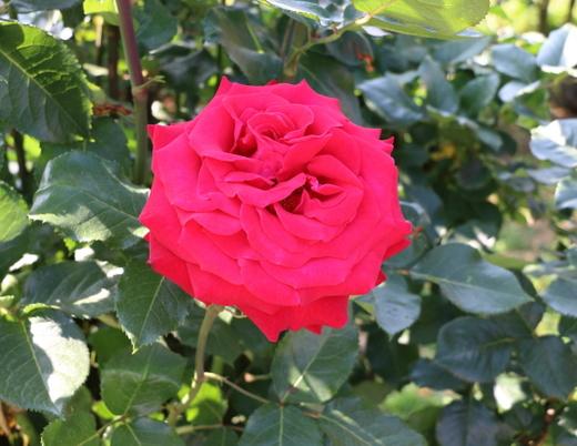 helmut-kohi-rose-0818.JPG