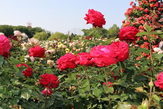 helmut-kohi-rose-0820.JPG