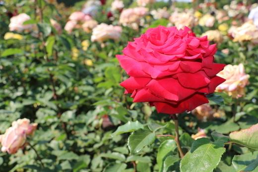 helmut-kohi-rose-0821.JPG