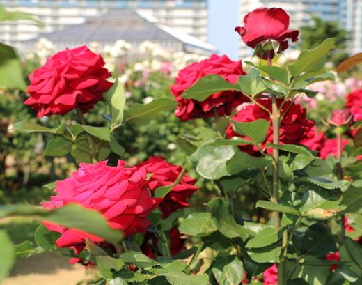 helmut-kohi-rose-0824.JPG