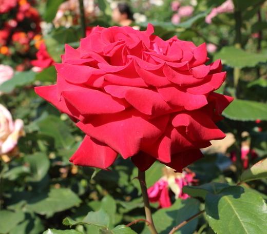 helmut-kohi-rose-0825.JPG