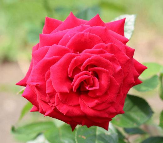 helmut-kohl-rose-6391.jpg