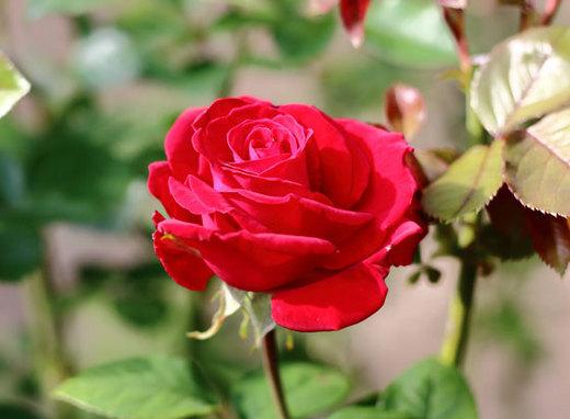 helmut-kohl-rose-6392.jpg