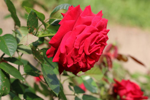helmut-kohl-rose-6394.jpg