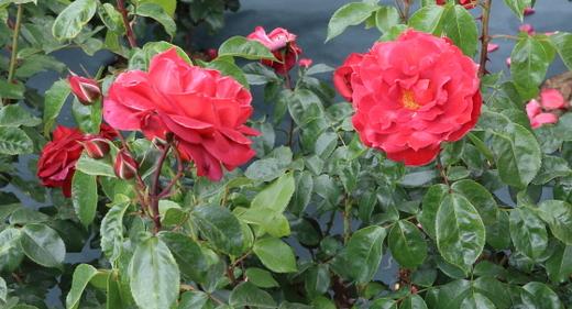 数輪の大房で開花して花つきがよい品種
