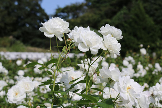 ティー系の香りがするバラ