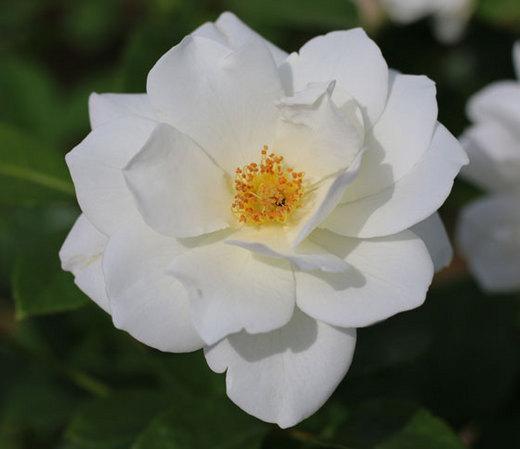 アイスバーグはフロリバンダ系統のバラ