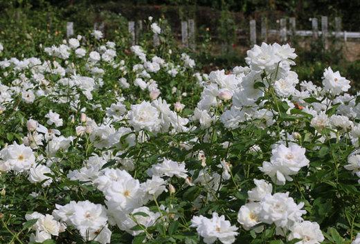 白色ばらを代表する名花です