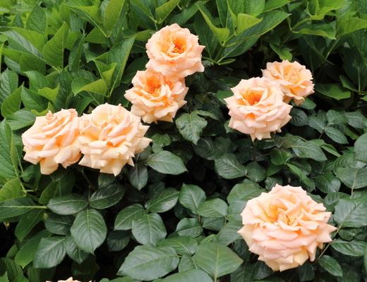 剣弁高芯咲きの大輪バラ