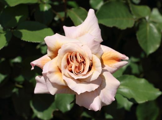 淡い茶色に少しピンクが混ざった花色