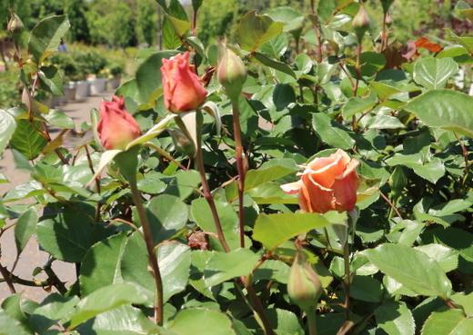 ハイブリッドティー系統のバラ