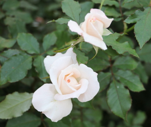 ブライダルピンクの枝変わり品種