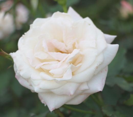 日本の河合伸志氏が作出したバラ