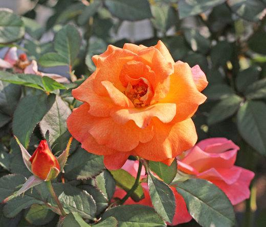 1輪咲きで花つき花もちがよい品種