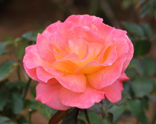 明るい橙色のバラ