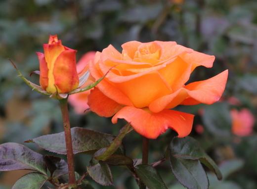 半剣弁咲きのバラ