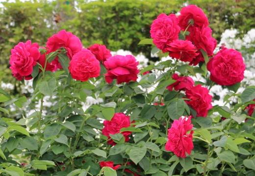 L.D.ブレスウェイトはロゼット咲きの大輪バラ
