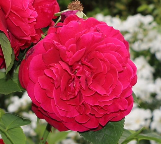 L.D.ブレスウェイトはクリムゾンレッドのカップ咲きです