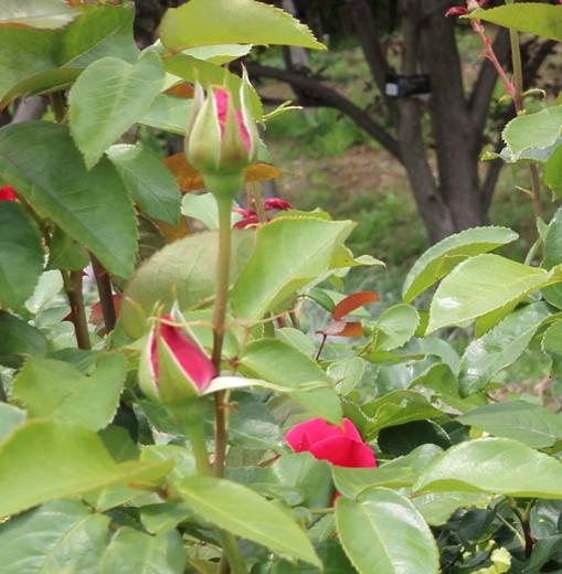 半直立性の樹形