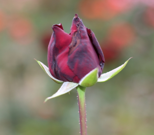 半剣弁高芯咲きで真紅の花