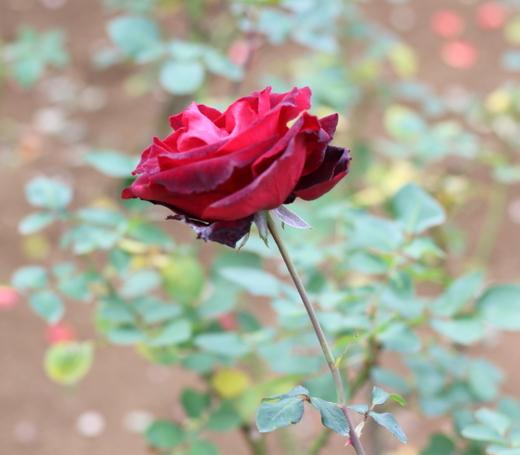 ベルサイユのバラはシリーズになっていて、色数が豊富です