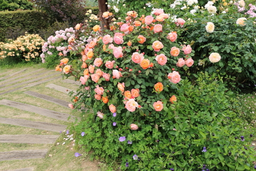 レディエマハミルトンは四季咲き性
