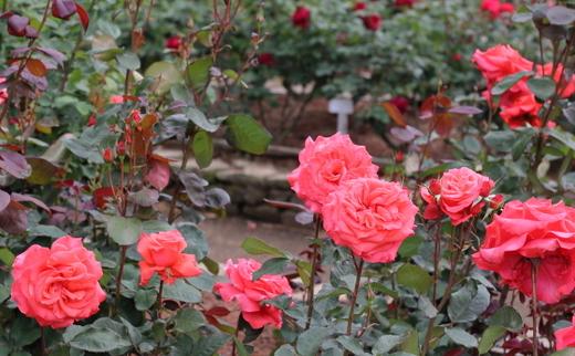lady-rose-9280.JPG