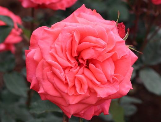 lady-rose-9281.JPG
