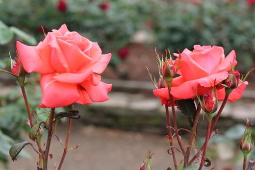 lady-rose-9282.JPG