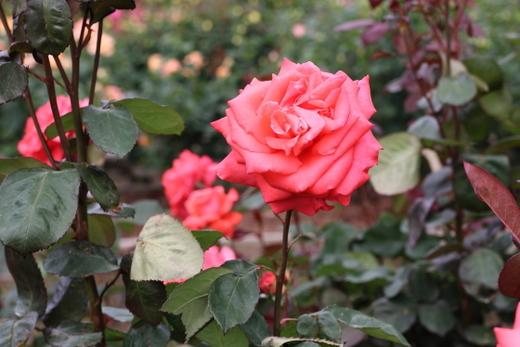 lady-rose-9283.JPG