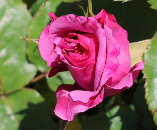 フェルゼン公爵は四季咲きです