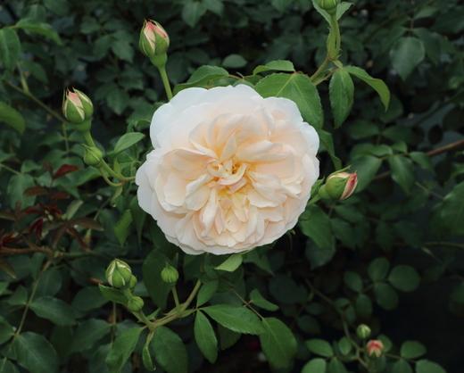 リッチフィールド エンジェルはシュラブ系統のバラ