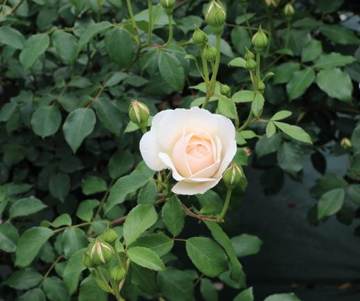 淡いアプリコット色のバラ