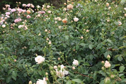 数輪の房咲きで多くの花をつけるバラ