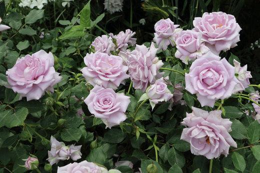 ブルー系統のバラとしては花もちがよい