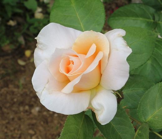 マダム・アルベール・バルビエは返り咲き品種