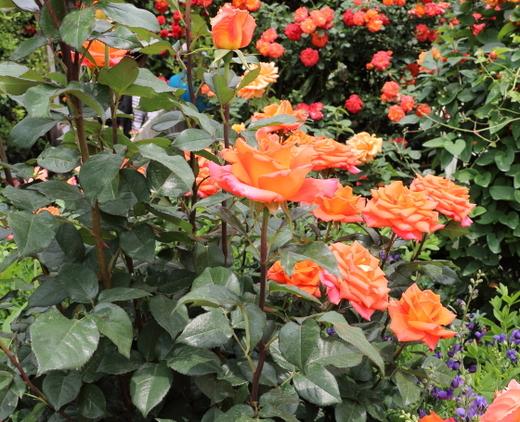 モニカは剣弁高芯咲きです