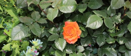モニカはオレンジ色の大輪花