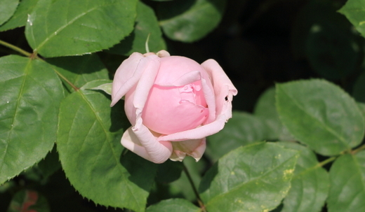 大輪咲きのつる性バラ