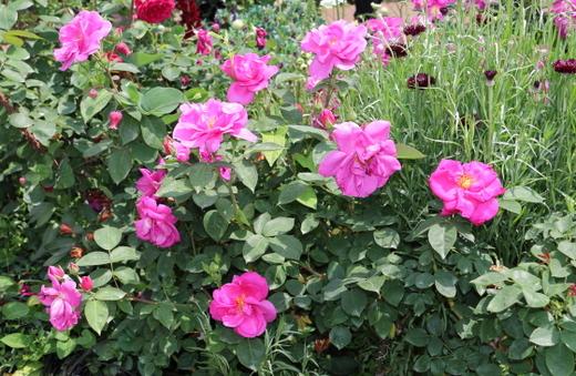 花径は中輪サイズの約8cm程です