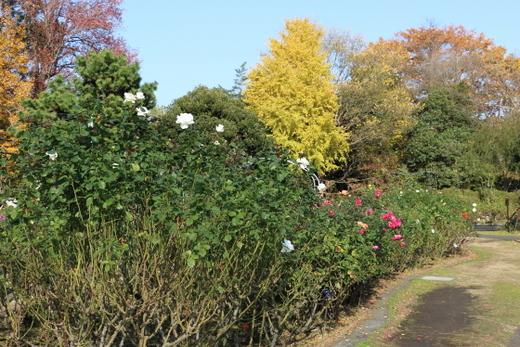 秋の大船植物園のバラ