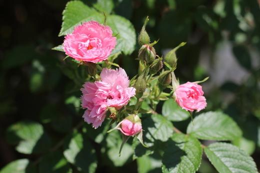 pink-grootendorst-9863.JPG