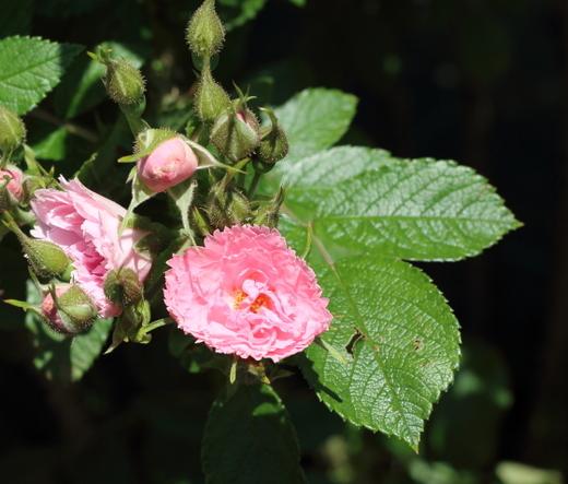pink-grootendorst-9867.JPG