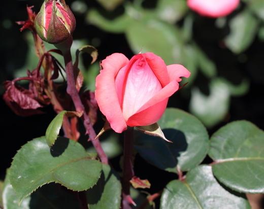 pink-panther-9527.JPG