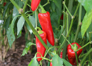 red-pepper-5011.jpg