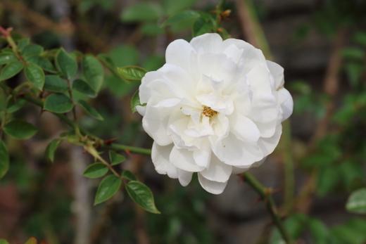 rosa-banksiae-lutea-7968.JPG