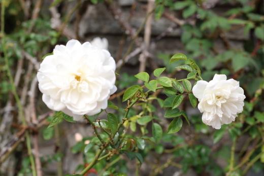 rosa-banksiae-lutea-7969.JPG